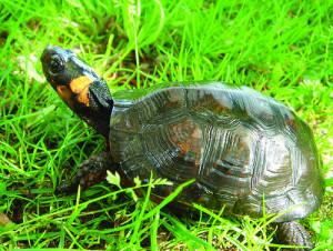 bog_turtle